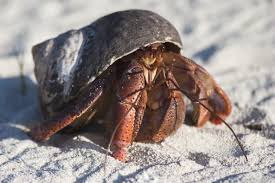Do Hermit Crabs Shed Their Body by Incredibly Mind Blowing Facts About Hermit Crabs