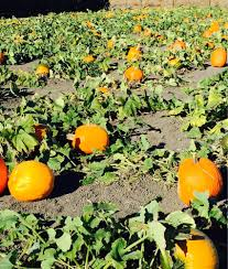 Pumpkin Patch Sacramento by Southern Californias The Pumpkin Patchcom