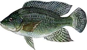 28 Collection Of Tilapia Clipart Png