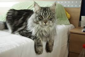adopt a cat adopt a maine coon adopt a cat allpaws