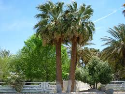 Types Of Christmas Trees To Plant by Types Of Palm Trees Affordable Tree Service Las Vegas Nv