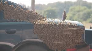 Watch: Honey Bees Swarm Deputy's Patrol Car While Stuck Inside ... Arnia Hive Monitors On Twitter Apimondia2017 Tech Tour Bee Lorry Bee Busters Truck Moving Bees Is Not Easy Slide Ridge Notes Video Driver Cited In Truck Crash 6abccom Brown Cat Bakery Transport Meet The Biobee Youtube Why Are So Many Trucks Tipping Over The Awl 14 Million Spilled I5 Everybodys Been Stung Honeybees Travel 1000 Miles To Pollinate Nations Crops Bbj Today 2018 Hino 817 4x4 Flat Deck