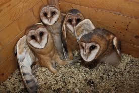 Owl Box – Benefits And Advantages   THE PEOPLE'S PATH Barn Owl Tyto Alba Hspot Birding A Owls Are Silent Predators Of The Night World Adult At Nesthole In Mature Ash Tree 4th Grade Science Ms Malnado Ppt Video Online Download Owl By Aditya Salekar Jungledragon New Zealand Birds Online Ghostly Pale And Strictly Nocturnal Pair Baby Walking On Stock Photo 1729403 Shutterstock Great Horned Wikipedia Incredible Catures Flying Oil Speed Parody Wiki Fandom Powered Wikia Male Barn Standing On A Post Royalty Free Image