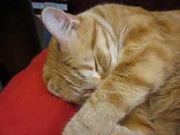 orange cat names orange cat breeds williams