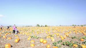Wheatfield Pumpkin Patch by Camera Fly U0027s Away From A Scarecrow In Pumpkin Patch Stock Footage