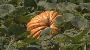 Mikes Pumpkin Patch Jacksonville Nc by Pumpkin Growin U0027 Ain U0027t Easy In The East Wnct