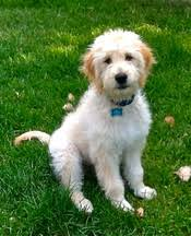 Do All Dogs Shed Fur by All About The Doodle Xanadu Dogs