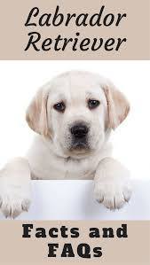 Dogs That Shed The Least Amount by Labrador Retriever Facts And Faqs