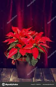 Red Poinsettia Euphorbia Pulcherrima Christmas Star Decorated With Snow In A Flower Pot Displayed Against Dark Velvet Background On Rustic Wooden