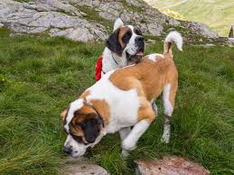 Do Short Haired Saint Bernards Shed by A Brief History Of The St Bernard Rescue Dog Travel Smithsonian
