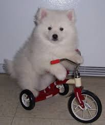 miniature american eskimo dog breeds and photos and videos list