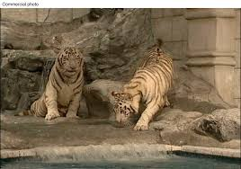 Wells: Local White Tiger Exhibit Should Relocate The Big Cats To A ...
