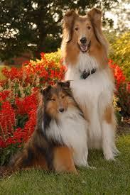 dogs shetland sheepdog sheltie and a rough collie as melhores
