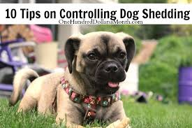 do pugs and puggles shed 10 tips on controlling shedding one hundred dollars a month