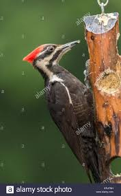 Female Pileated Woodpecker eating from a log suet feeder in