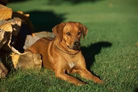 Do Rhodesian Ridgebacks Drool by Large Sized Dog The Doghouse Rumor Page 2