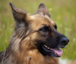 Does Akita Shed A Lot by Dog Shedding A Lot Solutions To Keep Your Home Fur Free