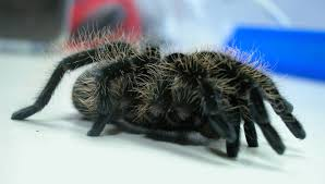 Do Tarantulas Shed Their Legs by Curly