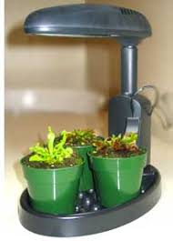 do flytraps grow faster if given more light venus fly trap care
