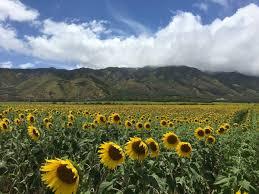 Aloun Farms Pumpkin Patch 2014 by Maui Farm Prepares To Harvest First Sunflower Biofuel Crop Khon2
