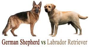 german shepherd vs labrador retriever youtube