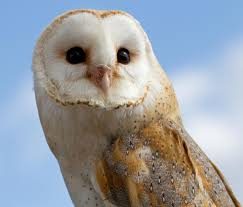 Owls: A Natural Predator For Vineyard Pests | Northwest Public Radio Watch The Secret To Why Barn Owls Dont Lose Their Hearing 162 Best Owls Images On Pinterest Barn And Children Stock Photos Images Alamy Owl 10 Fascating Facts About Species List Az 210 Birds Drawing Photographs Of Cave By Tyler Yupangco 312 Beautiful Birds