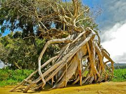 Ocean Tree Root Study 1
