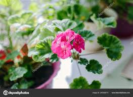 100 Blooming House Bright Pink Pelargonium Plants Stock Photo