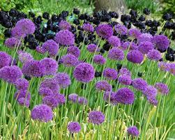 allium purple sensation bulbs buy at farmer gracy uk
