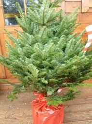 Fraser Christmas Trees Uk by Wholesale Christmas Trees Joseph Noblett
