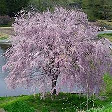 Weeping Yoshino Cherry Tree Shidare