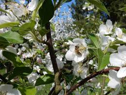 A Cherry Blossom Is Wilderness Enough If Youre Bee Charles Kuralt