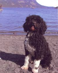 List Of Non Shedding Big Dogs by What The Heck Is A U201cportuguese Water Hound U201d Natural History