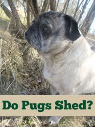 Do Hypoallergenic Dogs Still Shed by Do Pugs Shed Emily Reviews