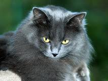 haired cat haired cat royalty free stock photos image 18110418