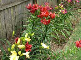 growing lilies from bulbs how to care for flowers