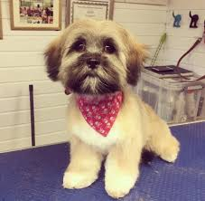 Shih Tzu Lhasa Apso Shedding by Dog Grooming Gallery Images Puppies And Dogs Helsby Runcorn