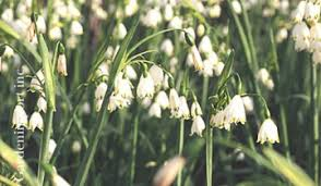 dugald s bulb of the month archives toronto botanical