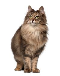 Do Maine Coons Shed In The Summer by Norwegian Forest Cat Breed Information Pictures Characteristics