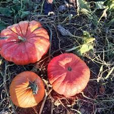 Silveyville Pumpkin Patch Dixon Ca by Cool Patch Pumpkins 309 Photos U0026 213 Reviews Pumpkin Patches