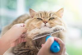 Excessive Hair Shedding In Cats by Loss In Cats Symptoms Causes Diagnosis Treatment Recovery