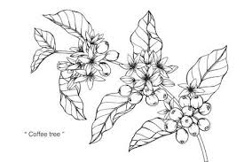 Coffee Tree Flower Drawing And Sketch With Black White Line Art Stock