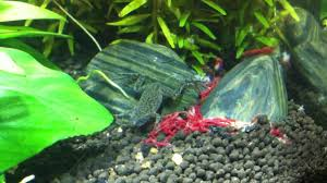 Do Aquatic Dwarf Frogs Shed Their Skin by African Dwarf Frogs In The Planted Nano Youtube