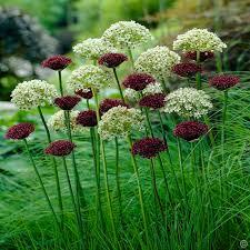 allium combo nigrum atropurpureum 20 flower bulbs buy