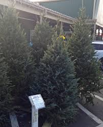 Fraser Christmas Tree Cutting by Christmas Trees And Decorations Weaver U0027s Ace Hardware