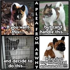 Does Akita Shed A Lot by 169 Best For Akita Lovers Images On Pinterest Akita Dog Dogs