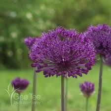 buy allium purple sensation bulbs allium gee bulb
