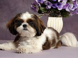 small non shedding dog breeds pictures dog pet photos gallery