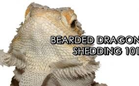 Bearded Dragon Shedding A Lot by Bearded Dragon Clothing Sugar Plum Fairy By Getstuft On Etsy