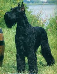Non Shed Dog Breeds Large by Giant Schnauzer U003c3 I Think This May Be My Next Dog But
